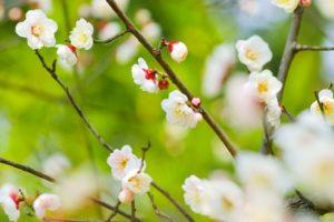 plum-blossom_beiz-jp_s08435